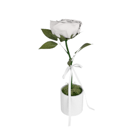 Rose in Pot, White