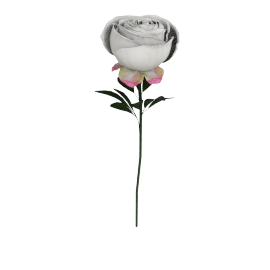 Single Peony, White